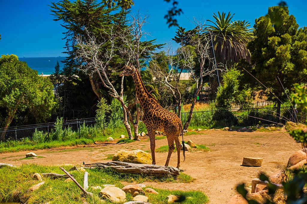 Feed, pet, and photography the giraffes at the Santa Barbara Zoos