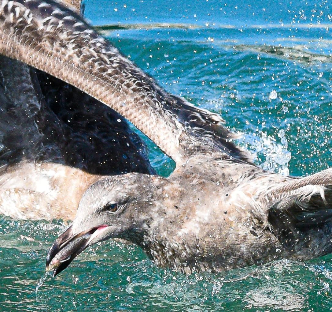 Seagull in Water Fish Beak (1 of 1)